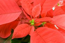 Free Poinsettia Bloom Stock Photography - 1630992