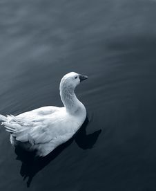 Free Duck Royalty Free Stock Photos - 1631138