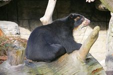 Free Spectacled Bear 5 Stock Photography - 1632052