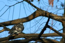 Free Pigeon On Branch Royalty Free Stock Images - 1632089