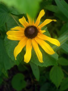 Free Black-eyed Susan Bloom Stock Photo - 1632730