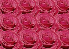 Free Rose Royalty Free Stock Image - 1632806