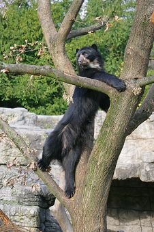 Free Spectacled Bear 11 Royalty Free Stock Image - 1633256