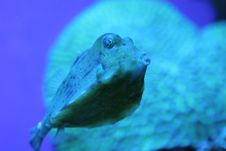 Free Funny Blue Tropical Fish Royalty Free Stock Photography - 1633557
