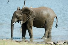 Free Young Elephant. Stock Photos - 1633603