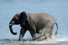 Free Young Elephant. Royalty Free Stock Photos - 1633688