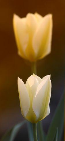 Free Icon Tulips Stock Photography - 1633692