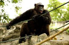 Free Monkey Royalty Free Stock Images - 1634929