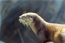 Free Otter Royalty Free Stock Images - 1635719