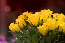 Free Yellow Roses Royalty Free Stock Photo - 1635755