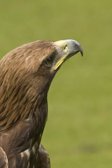 Free Eagle Looking For Prey Stock Photos - 1635803