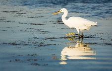 Free Hunting Heron Stock Photos - 1635823