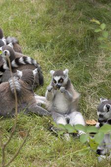 Free Feeding Lemur Stock Images - 1635844