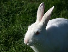 Free White Rabbit Royalty Free Stock Images - 1635929