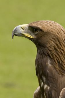 Free Golden Eagle Royalty Free Stock Image - 1636006