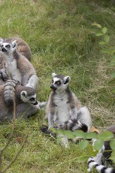 Free Lemur Community Royalty Free Stock Image - 1636026