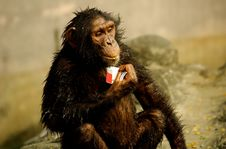 Free Monkey Eating Royalty Free Stock Photos - 1636148