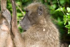 Free Chacma Baboons Stock Photography - 1636462
