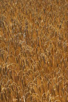 Free Corn Fields Stock Image - 1636501