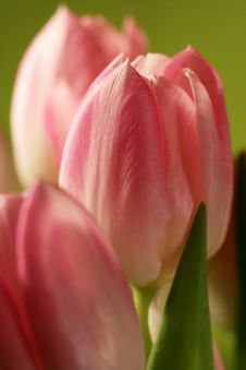 Free Red Tulips Stock Photography - 1636522