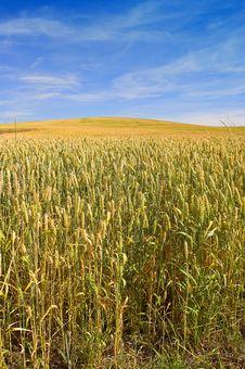 Free Corn Field Royalty Free Stock Photography - 1636727