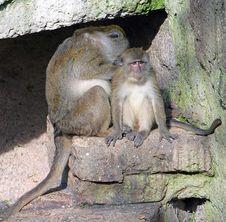 Free Macaque 1 Stock Photos - 1636833