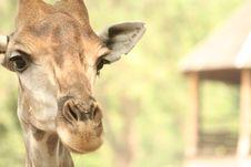 Free Giraffe Stock Image - 1636921