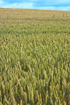 Free Corn Fields Royalty Free Stock Photo - 1637215