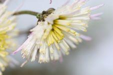 Free Visuvio Chrysanthemum Royalty Free Stock Images - 1639439