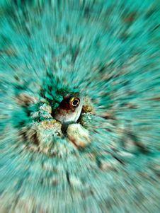 Yellowbarred Jawfish Stock Images