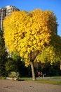 Free Yellow Heart Shaped Tree Royalty Free Stock Photos - 16300428