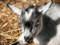 Free Baby Goat Royalty Free Stock Images - 16306139