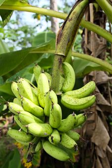 Free Green Banana Stock Image - 16300681