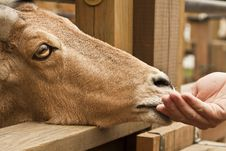 Free Feeding A Goat Stock Photos - 16300793