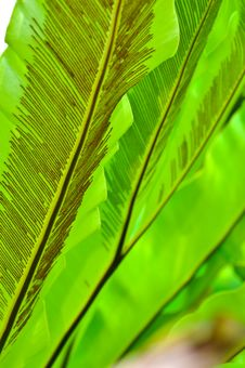 Free Green Leaf Of Bird S Nest Fern Royalty Free Stock Photo - 16300845