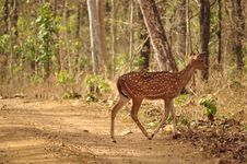 Free Spotted Deer Stock Photos - 16302023