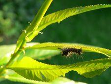 Free Vapourer Moth Stock Image - 16302741