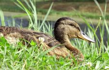 Free Duck In Grass Royalty Free Stock Photos - 16302898