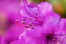 Free Pink Flower With Stamens Stock Images - 16303124