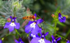 Free Hover Bee With Pollen On Blue Lobelia Royalty Free Stock Image - 16303276