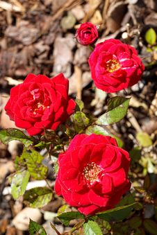Free Four Small Red Roses Royalty Free Stock Image - 16303396