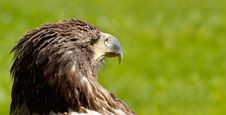 BigSea Eagle (Haliaeetus Albicill) Stock Photo