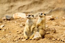 Free Two Suricata Suricatta Royalty Free Stock Images - 16303559