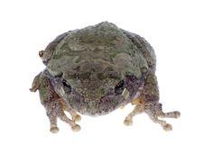 Free Eastern Gray Treefrog, Hyla Versicolor, Isolated Stock Photos - 16303573