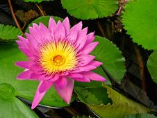 Free Water Lily Flower Royalty Free Stock Images - 16303869