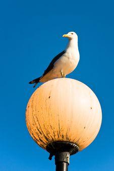 Free Seagull Royalty Free Stock Photos - 16303918