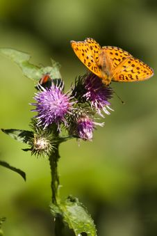 Free Butterfly  (argynnis Paphia) Stock Photography - 16303962