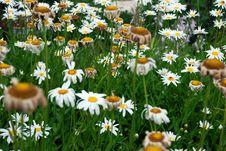 Free Daisy Stock Image - 16304161