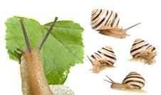 Free Striped Snail, A Set Of Five Images Stock Images - 16305474