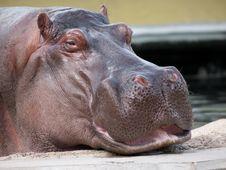 Free Hippopotamus Amphibius Royalty Free Stock Images - 16305639